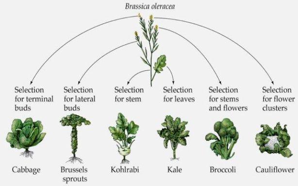 brassica-oleracea and ssp